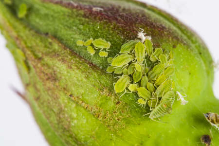 animal viviparous: Cluster of greenfly or aphids of the family Aphidoidea on a rose bud Stock Photo