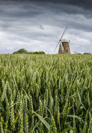 flour mill: Halnaker Windmill, near Chichester,West Sussex, UK, across a field of unripe wheat on a stormy day