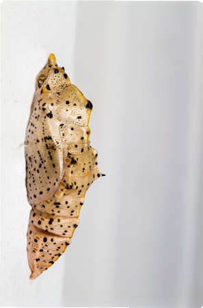 Macro, stacked image of a Large white Butterfly Chrysalis photo