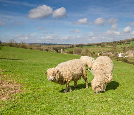 rare animals: The Cotswold Lion Sheep is a rare breed Stock Photo
