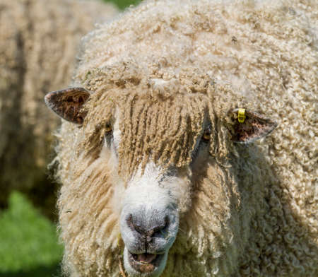 cotswold: The Cotswold Lion Sheep is a rare breed