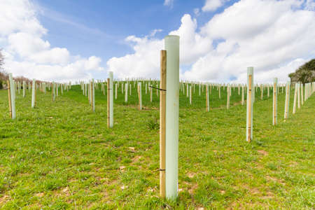Young trees planted in protective tubes to create new woodland Stok Fotoğraf