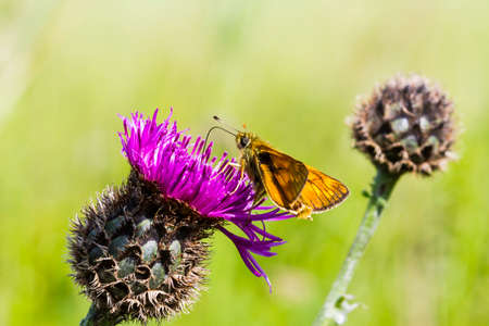 ochlodes: Large Skipper Butterfly feeding on a thistle