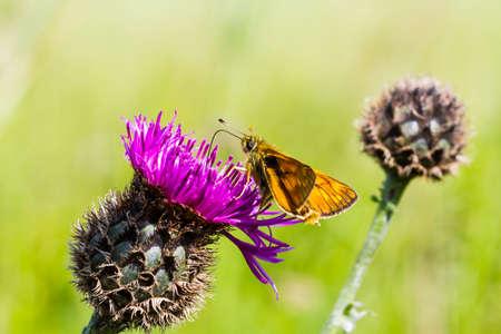 ochlodes: Large Skipper Butterfly feeding on a thistle