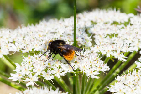 tailed: Red Tailed Bumble Bee   Bombus lapidarius  sat on cow parsley fower