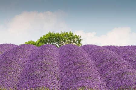 lavender field: Lavender Field in Full Bloom Stock Photo