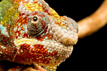 Close up of the head of a Panther Chameleon (Furcifer pardalis) native to Madagascar photo