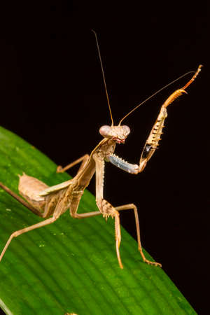 Griffin Mantis (Polyspilota griffinii) standing with one forelimb raised