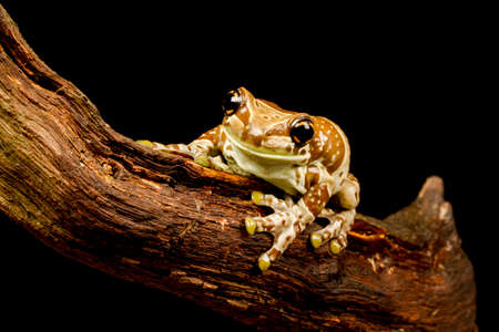 arboreal frog: Mission golden-eyed tree frog or Amazon milk frog (Trachycephalus resinifictrix) close up. An arboreal frog which lives in the Amazonian rainforest
