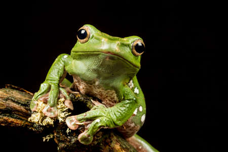 gliding: Vietnamese Blue (Gliding or Flying) Tree Frog (Polypedates dennysii) in close up staring at the camera against a black background Stock Photo