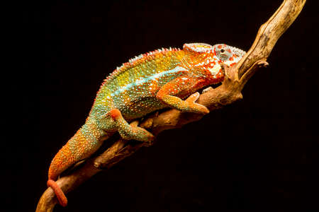 Panther Chameleon (Furcifer pardalis) native to Madagascar on a branch