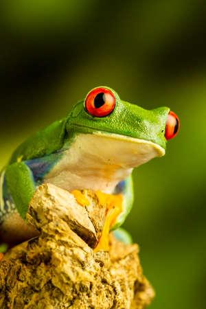 Rana di albero verde con gli occhi rossi (callidryas di Agalychnis) che si siede su un pezzo di legno che fissa su