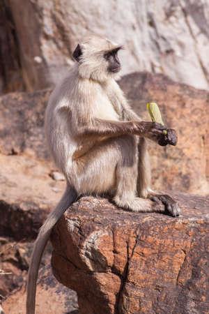 semnopithecus: Indian Gray langurs or Hanuman langurs Monkey (Semnopithecus entellus) sat on a rock