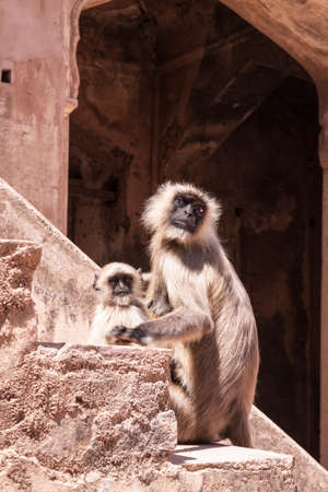 gray langur: Mother and Baby Indian Gray langurs or Hanuman langurs (Semnopithecus entellus) Monkey on the steps of a deserted palace