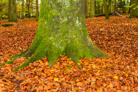 cotswold: English Beech Forest in Autumn with close up of a moss covered trunk surrounded by a golden carpet of leaves