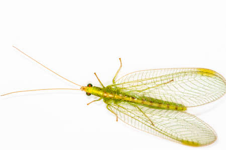 Close up of a Lacewing (Chrysoperla carnea) on a plain background, adults eat pollen and honeydew but the larvae are voracious predators photo