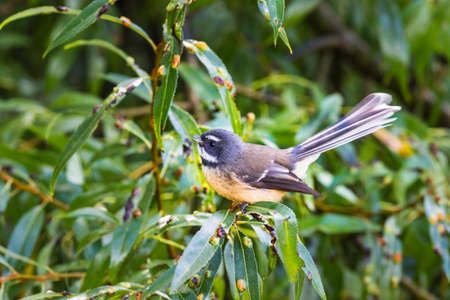 insectivorous: New Zealand fantail (Rhipidura fuliginosa), small insectivorous bird, that will approach people to take advantage of the insects they flush.