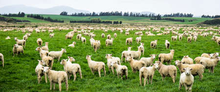 Large flock of newly shorn sheep on verdant lush pasture