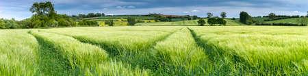 paisaje rural: Panorama de un campo de trigo Inglés en primavera. El trigo es todavía verde y sobre un telón de fondo de la campiña