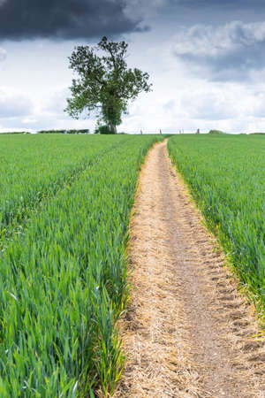 disappears: Path through a field of young wheat in the spring. Path disappears towards the horizon