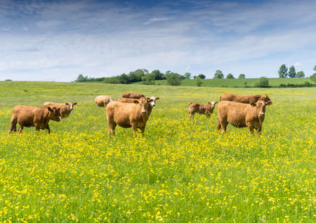 Brown beef cows and calves in a field of buttercups on an English summers day