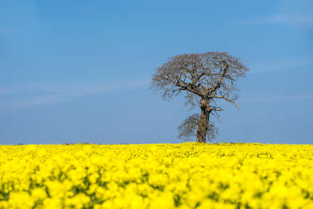 yellow flower tree: One bare tree surrounded by bright yellow oil seed rape in full flower