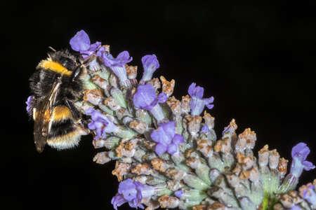 bombus: Macro of a Bumble Bee (Bombus terrestris) feeding on a Lavender flower against a dark background Stock Photo