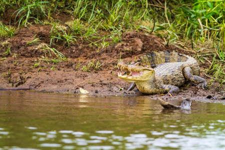 cano: Cayman (Caiman crocodilus fuscus) , Cano Negro reserve, Alajuela, Costa Rica