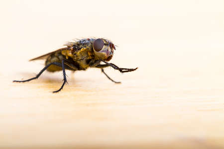 diptera: Close up of a House Fly taken head on on a plain background