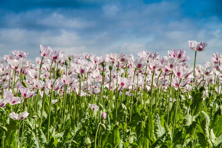 commercial medicine: Opium poppy, Papaver somniferum grown for the production of medical opiates Stock Photo