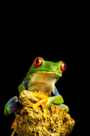 callidryas: Red-eyed Green Tree Frog (Agalychnis callidryas) sitting on a piece of wood staring forward