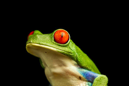 red eyed tree frog: Close up of Red-eyed Green Tree Frog (Agalychnis callidryas)  staring upwards