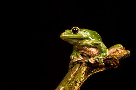 ojos negros: vietnamita Blue Tree Frog (Polypedates dennysii) mira a la izquierda contra un fondo negro Foto de archivo