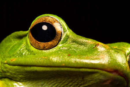 amphibia: Vietnamese Blue Tree Frog (Polypedates dennysii) in ultraclose up staring at the camera Stock Photo