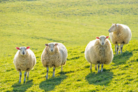 Four ewe sheep standing facing camera, backlit on a sunny day Stok Fotoğraf