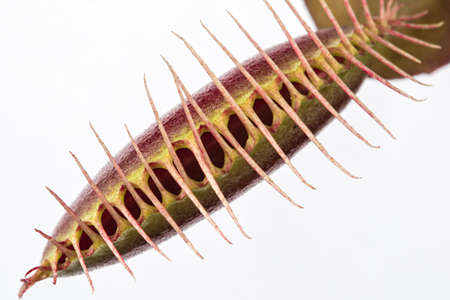 Macro of a tightly closed insectivorous venus fly trap (Dionaea muscipula)  on a white background Stock Photo