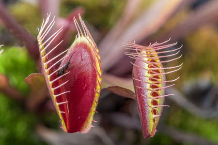 Macro of two  insectivorous venus fly trap (Dionaea muscipula)  one tightly closed and one open Stock Photo