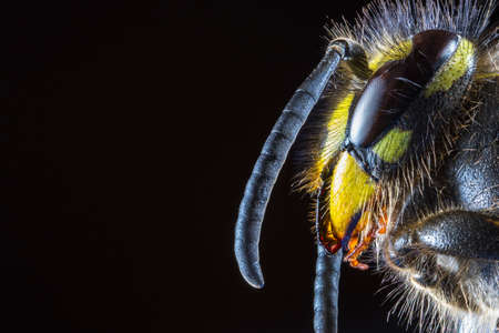 Extreme Macro of the head of Common Wasp (Vespula vulgaris) from the side against a black background, looking into space Stock Photo