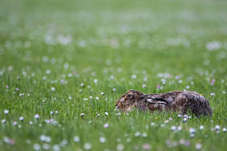Close up of a Brown Hare (Lepus europaeus) lying down in a daisy covered field, with shallow depth of field Stock Photo