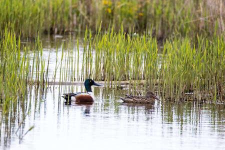 Male and female Shoveler Ducks (Anas clypeata) swimming through reeds, Orkney,UK Stock Photo