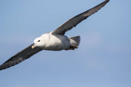 Close up of Fulmar (Fulmarus glacialis) in flight,flying to left of frame