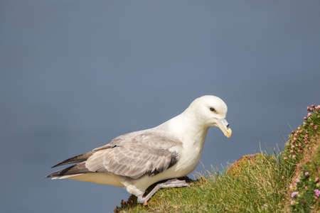 Fulmar (Fulmarus glacialis) sat on grassy slope on a cliff edge with thrift Stock Photo