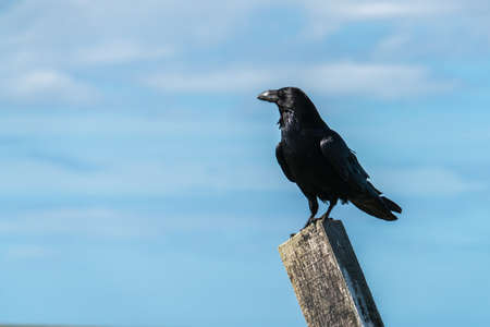 Close up of a single Raven (Corvus corax) perched on a post, staring to one side, against a blue sky