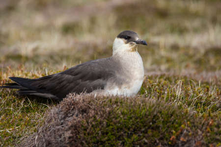 Close up of an Arctic Skua (Stercorarius parasiticus), sitting on the close cropped vegetation, Orkney, UK