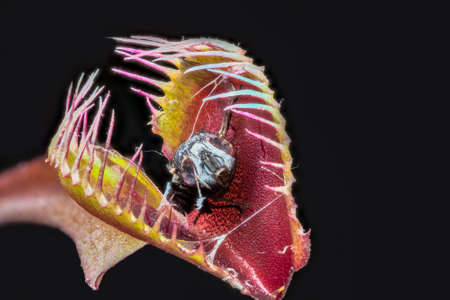 Stacked macro of Venus fly trap (Dionaea muscipula) with remains of captured digested fly Stock Photo