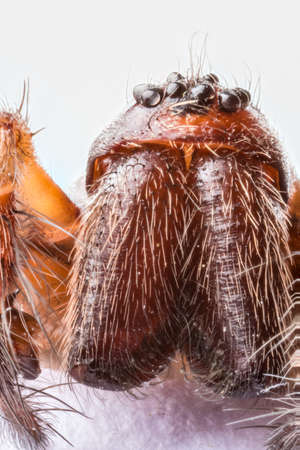 Stacked macro of the head of Domestic House Spider (Tegenaria domestica) showing eight eyes, palps and jaws