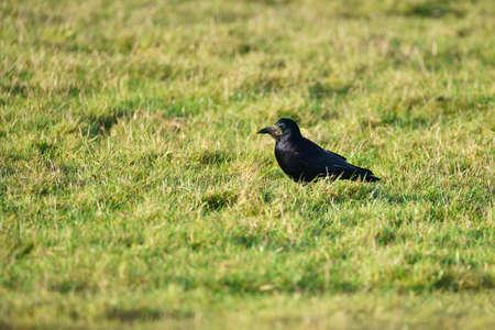 Single Rook (Corvus frugilegus) walking through grass looking for food