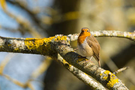 Robin (Erithacus rubecula) perched on a branch three quarter profile looking at camera