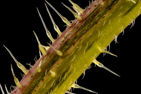 Stacked focus, extreme close up of of stinging nettle stem(Urtica dioica) showing the sting cells or trichome hairs. five times magnification