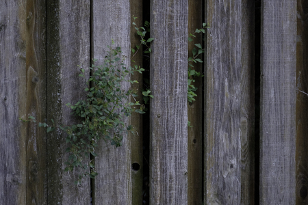 Weathered wood knotty pine fencing with plant growing Imagens